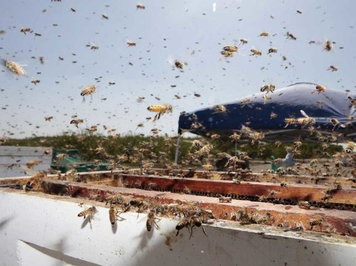 The Collapse Of The Honeybee Industry Could Cost Hundreds Of Billions Of Dollars