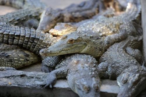 Crocodiles starve after US freezes elite Honduras family's assets