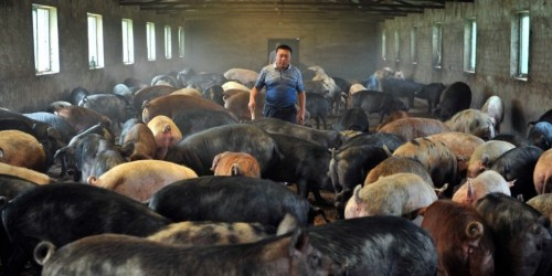 China uses facial recognition on pigs, African swine fever still hits