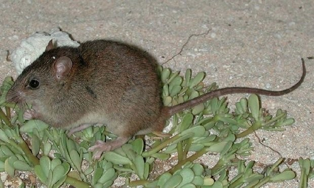 This is the first mammal to go extinct because of manmade climate change