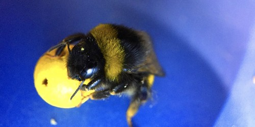 Researchers working with bees proved for the first time that insects can be trained to perform complex tasks