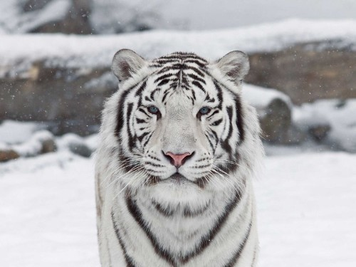 Scientists Have Solved The Mystery Of The White Tiger's Coat