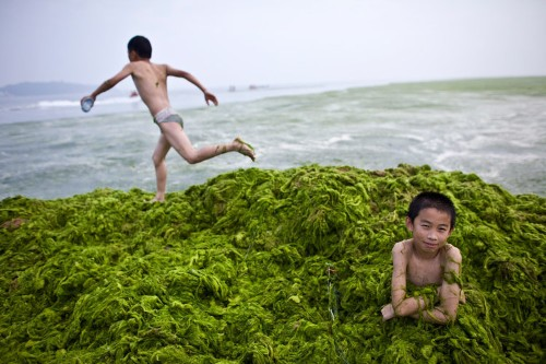 China Beaches Are Green With Smelly 'Sea Lettuce' Algae Due To Record-Breaking Bloom