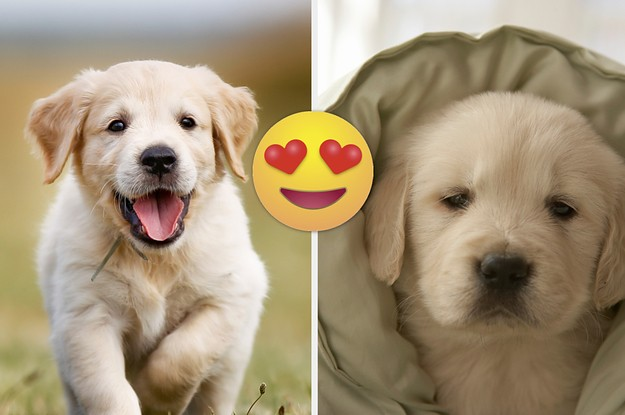 Need Two Minutes Of Pureness? Then Check Out These 19 Photos Of Adorable Golden Retriever Puppies