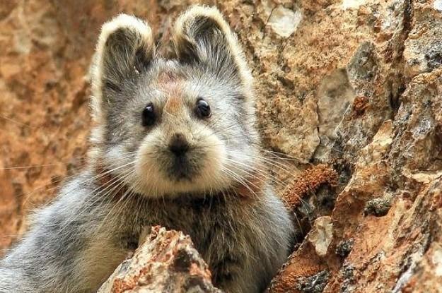 Meet The Extremely Rare Animal Who Has An Insanely Cute Teddy Bear Face