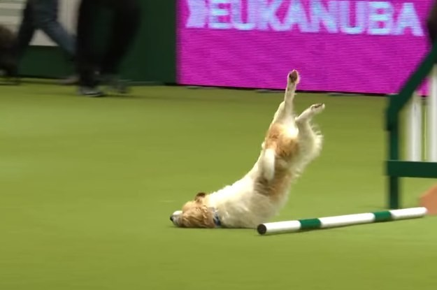 This Rescue Dog Made So Many Mistakes On This Agility Course And He Looked So Happy The Whole Time