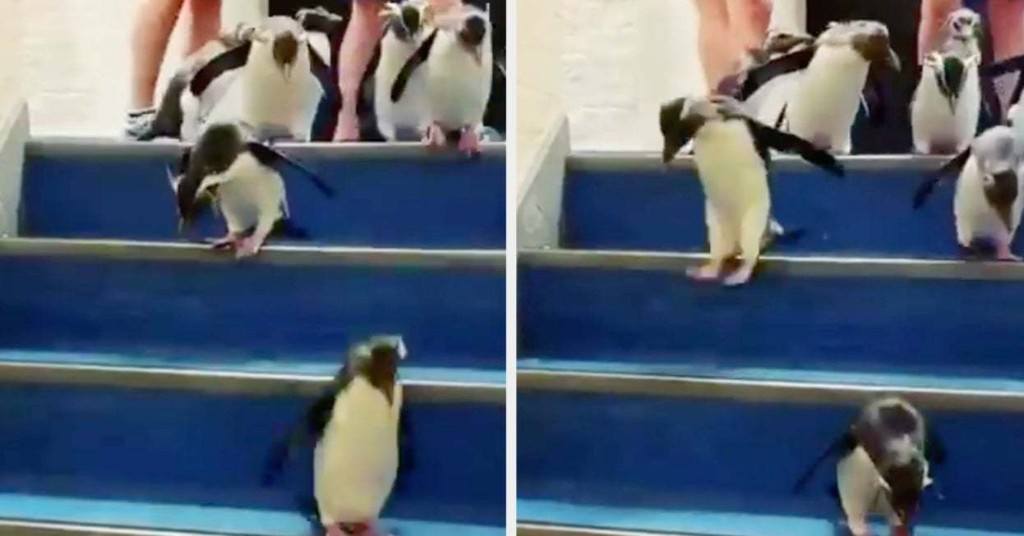 These Cute Penguins Hopped Down Some Stairs And People Can't Handle It