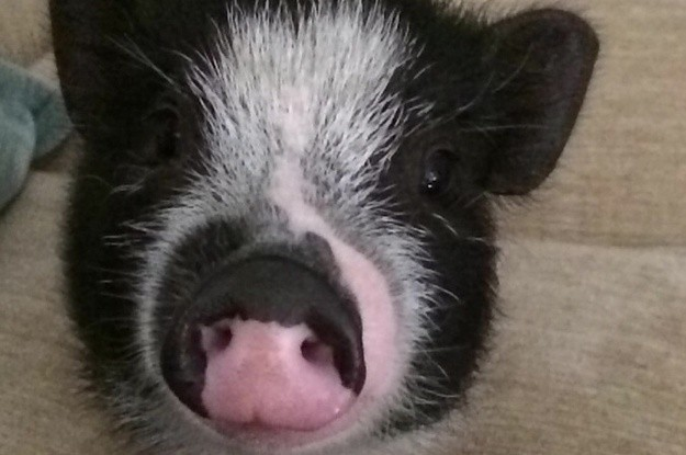 This Lil Pig Sliding On Ice Will Make You Squeal With Happiness