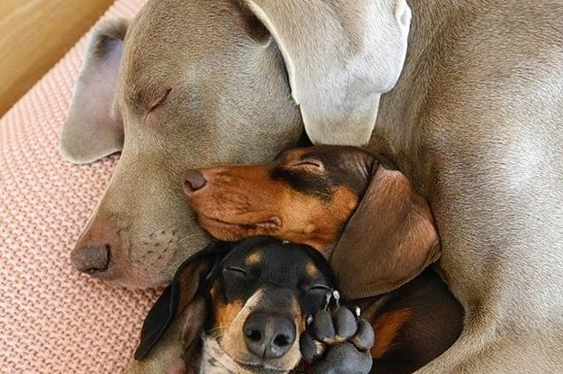This Big Dog Snuggling With His Two Lil Dog Pals Is Absurdly Precious