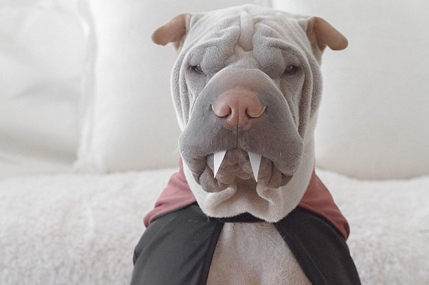 This Soft Wrinkly Dog Will Make You Want To Go Out And Buy A Soft Wrinkly Dog