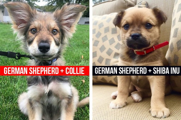 "14 German Shepherd Mixes That Will Make You Say ""I WANT ONE"""