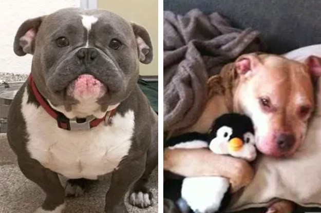 17 Reasons Why Pit Bulls Are Actually The Scariest Animals Alive
