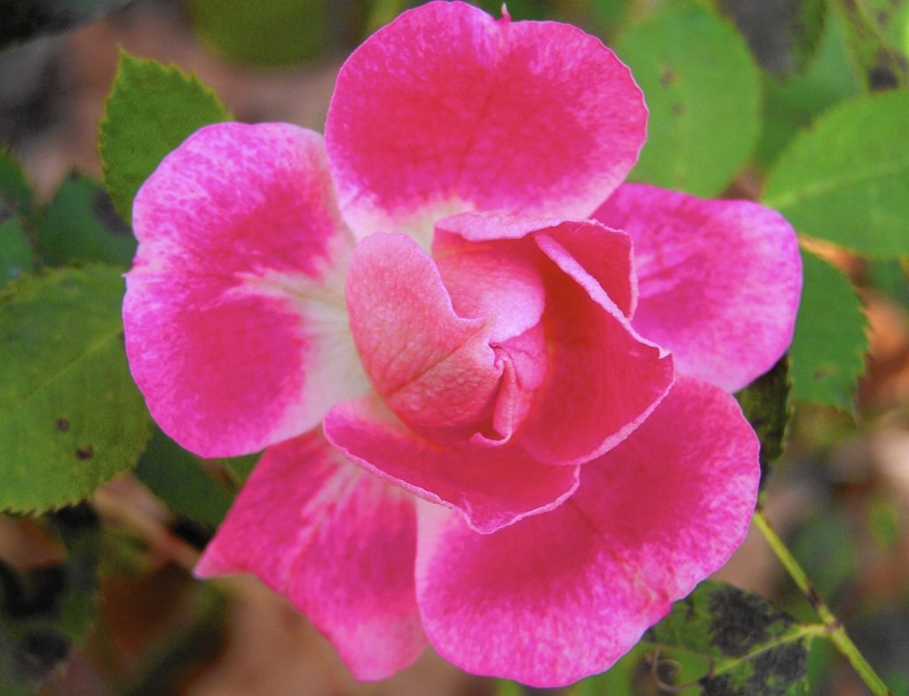 It's time to deadhead, prune and mulch roses