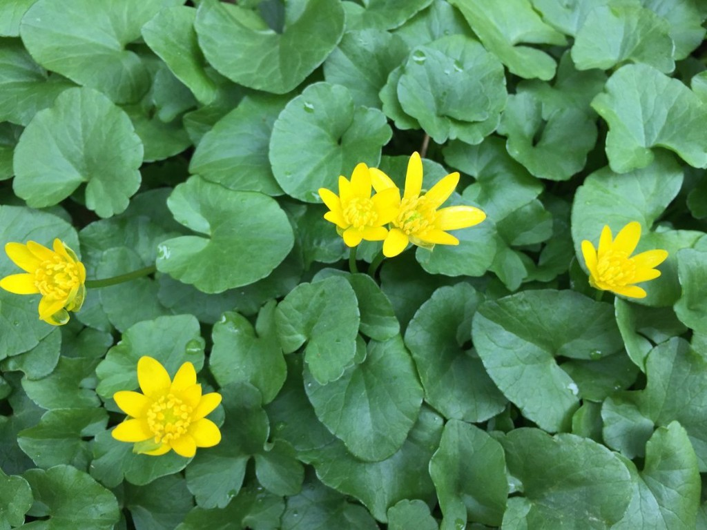 How to fight invasive lesser celandine, the yellow-flowered perennial weed that's tough to beat