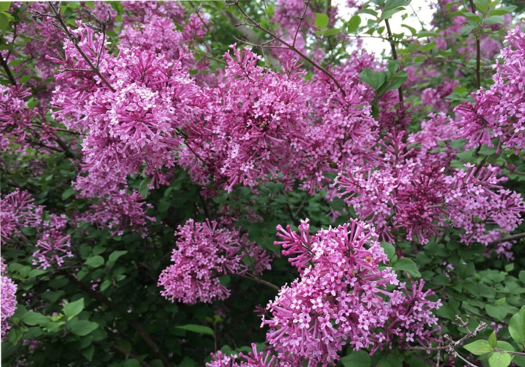 It's time to prune spring-flowering shrubs like forsythia and lilac. Here's how to do it right.
