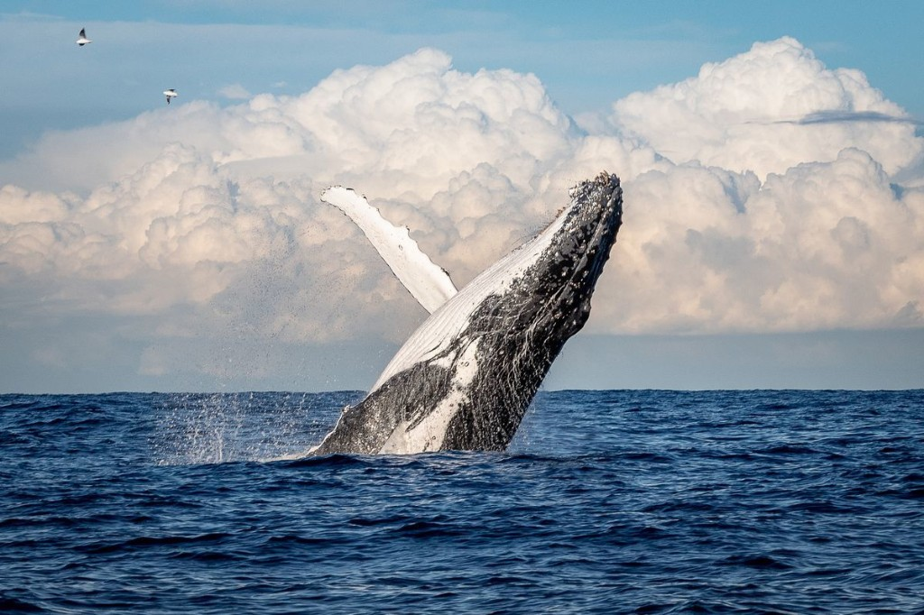 How the pandemic is making it tougher to study whales
