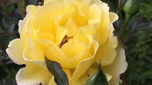 Prune, detangle rosebushes in early spring to boost blooms