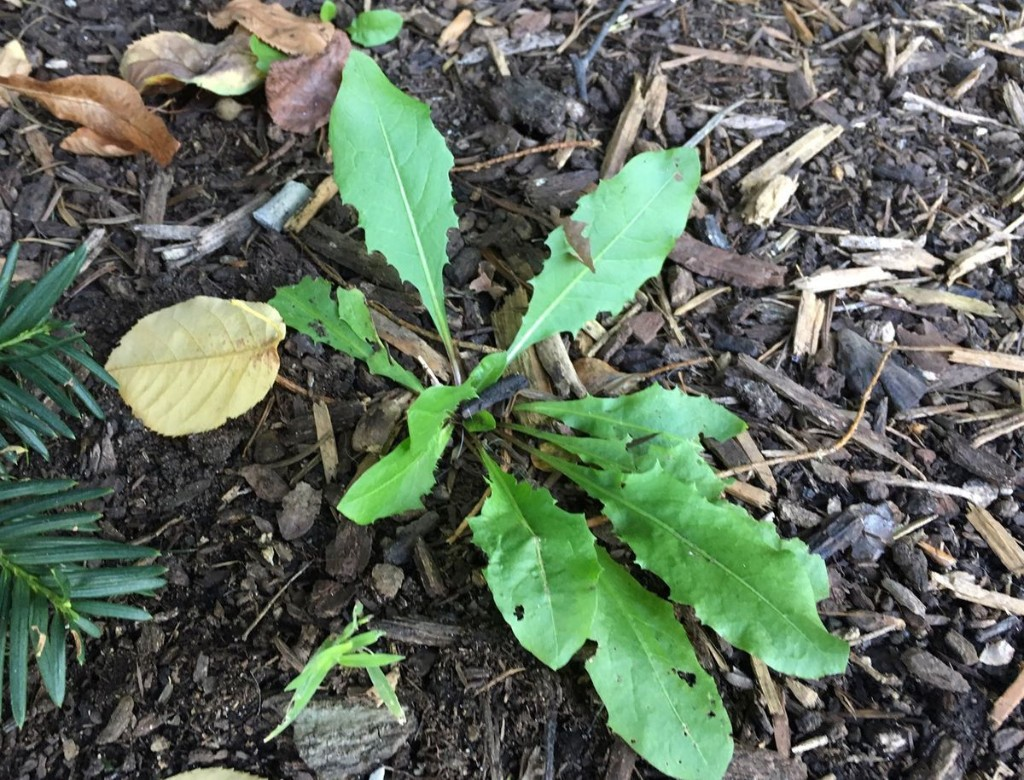 Weeds still going strong into fall? Here's how to tackle them in your garden or lawn