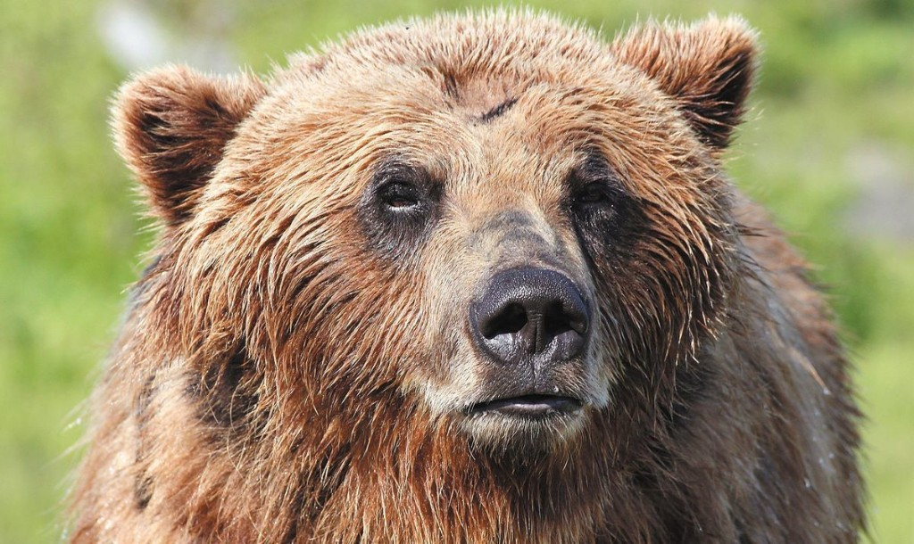 Baiting grizzly bears with doughnuts soaked in bacon grease, using spotlights to blind hibernating black bears and their cubs, gunning down swimming caribou from motorboats: Trump administration revives banned hunting techniques in Alaska