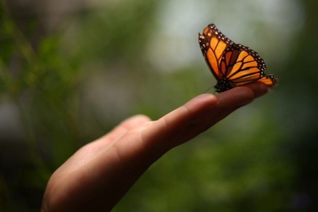 Designing the Butterfly-Friendly City