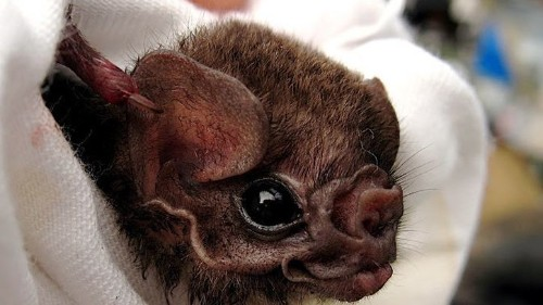 Estos murciélagos brasileños comen sangre humana