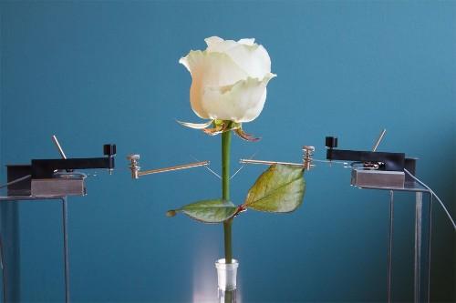 Un equipo de científicos en Suecia cultiva rosas 'cyborg'