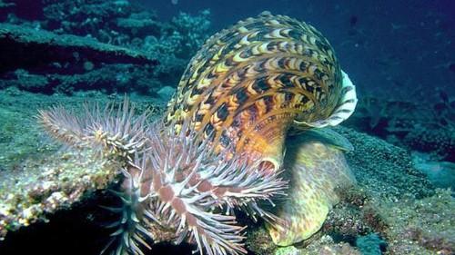 El perfume de este caracol podría ayudar a salvar el coral