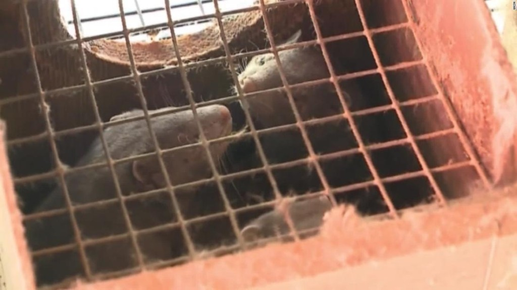 An Oregon mink farm has reported a Covid-19 outbreak