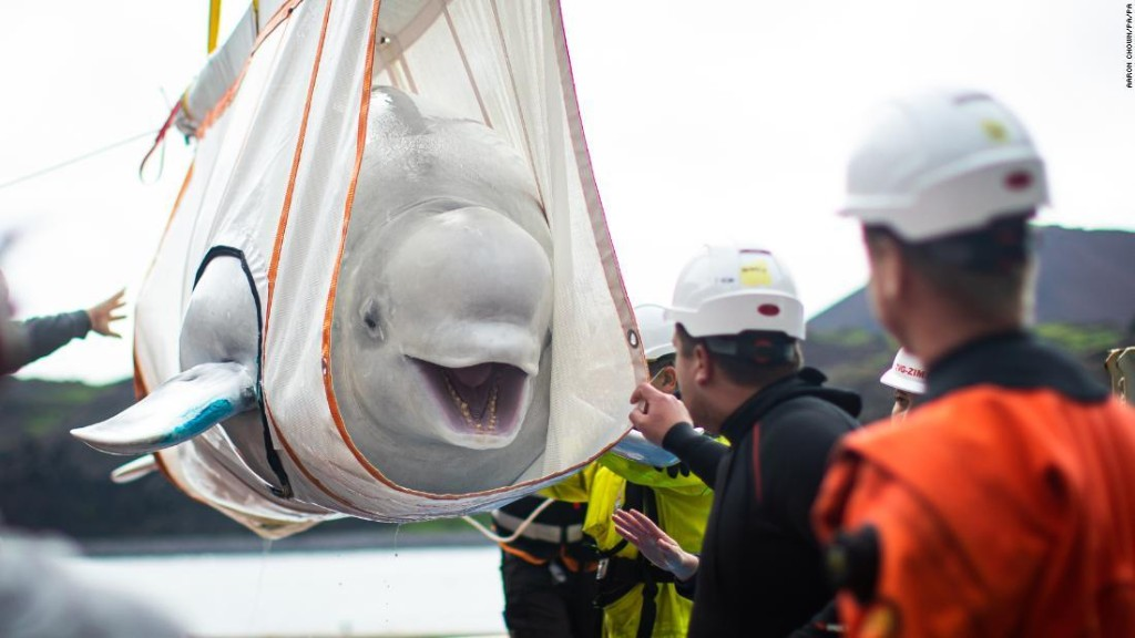 Watch beluga whales return to sea after years of captivity