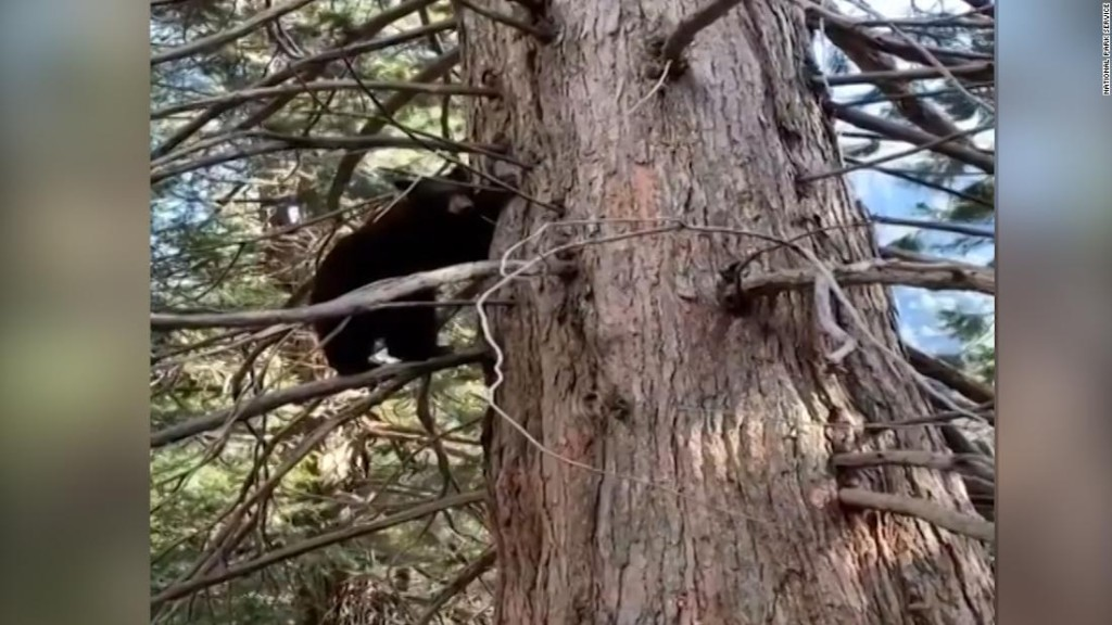Bears live it up after Yosemite Park closes - CNN Video