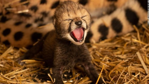 Two cheetah cubs were born for the first time by IVF. The breakthrough offers hope for the threatened species
