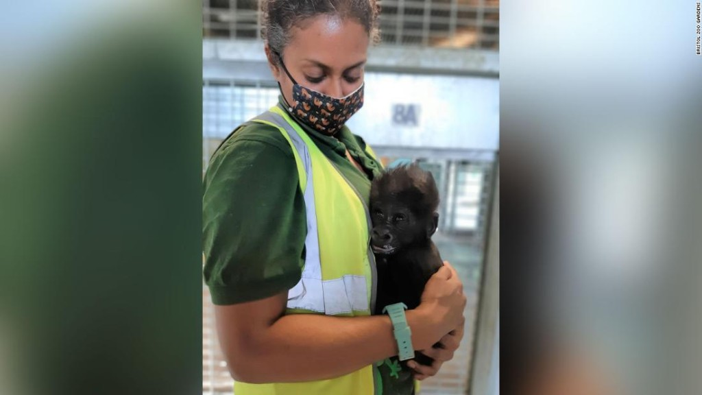 A baby gorilla is being hand-reared by zookeepers
