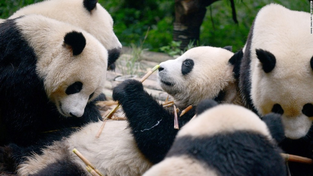 China's focus on panda conservation has come at the cost of other species: study