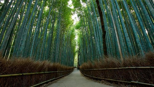 Kyoto's Sagano Bamboo Forest, one of the world's prettiest groves