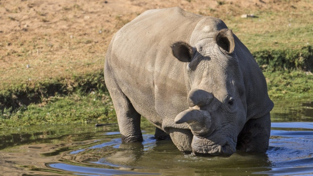 Nola, one of the last four northern white rhinos left, has health problems - CNN