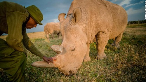 Eggs extracted from the last 2 northern white rhinos may save the species