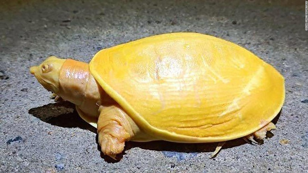 Rare yellow turtle discovered in India
