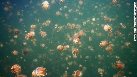 Palau's Jellyfish Lake reopens as thousands of jellyfish return