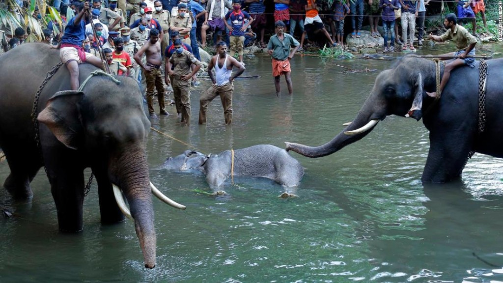 Elephant in Kerala dies after suspected firecrackers hidden in fruit exploded in her mouth