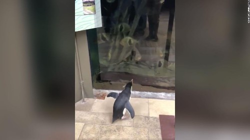With the aquarium closed to humans, penguins take opportunity to explore and visit other animals