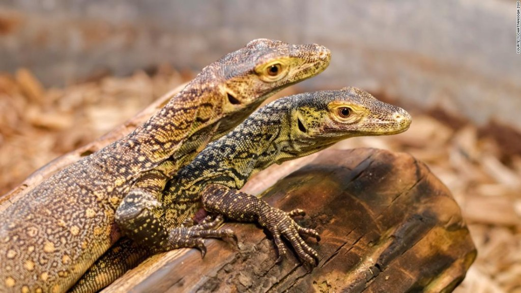 A Komodo dragon with no male partner gave birth to three hatchlings