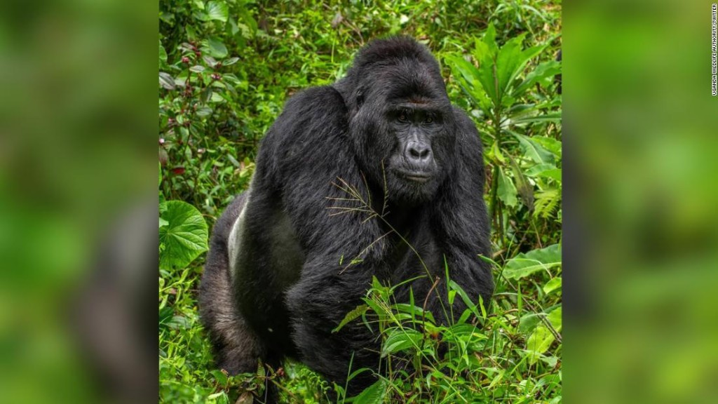 The poacher who killed the rare silverback gorilla Rafiki is jailed for 11 years