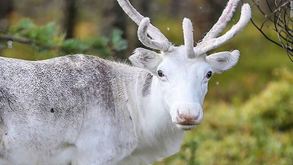 200 reindeer died on an Arctic Island -- and researchers think climate change is to blame