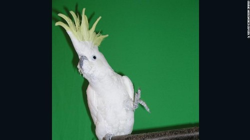 A dancing cockatoo named Snowball learned 14 moves all by his little bird self, researchers say