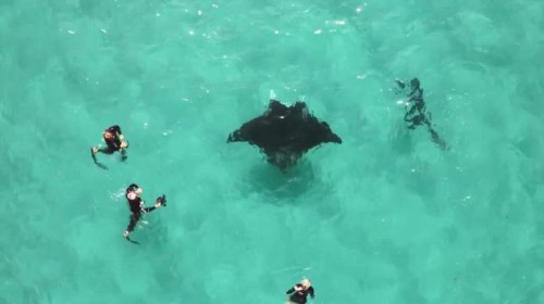 Manta ray filmed seeking help from divers in remarkable underwater encounter