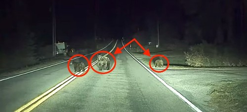 Tesla Autopilot stops for bear and cubs on the road caught on dashcam