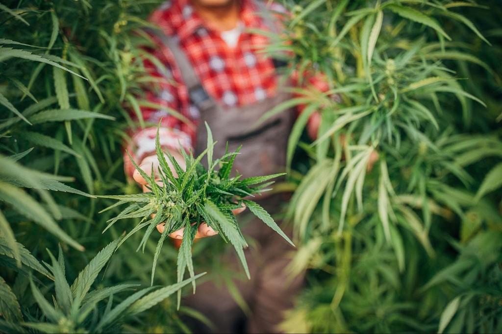 Cannabis News - cover