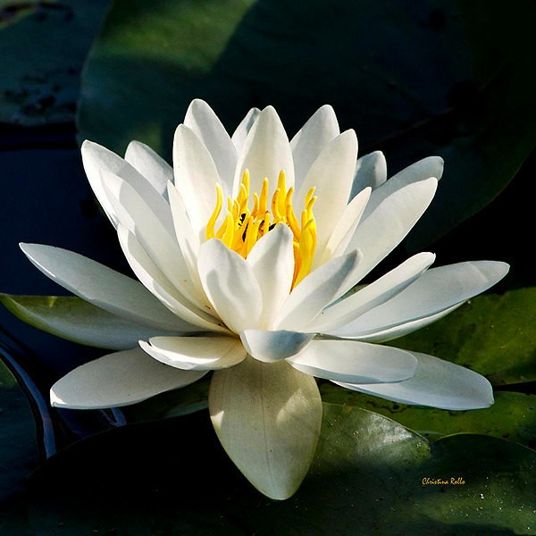 Water Lily Print, Fine Art Photography, Waterlily, Flower Photography, Flower Pictures, Botanical Print, Flower Prints, Square Wall Art