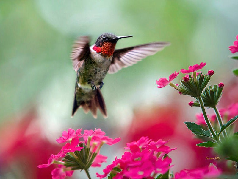Hummingbird Print, Hummingbird Art, Fine Art Photography, Hummingbird Photos, Bird Photography, Wildlife Prints, Photo Prints, Bird Art