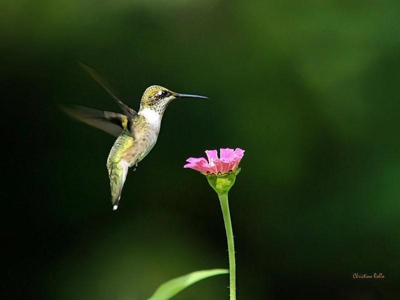 Hummingbird Picture, Humming bird Photography, Hummingbird in Flight, Nature Photography, Photo Print, Summer Garden Decor, Nature Wall Art